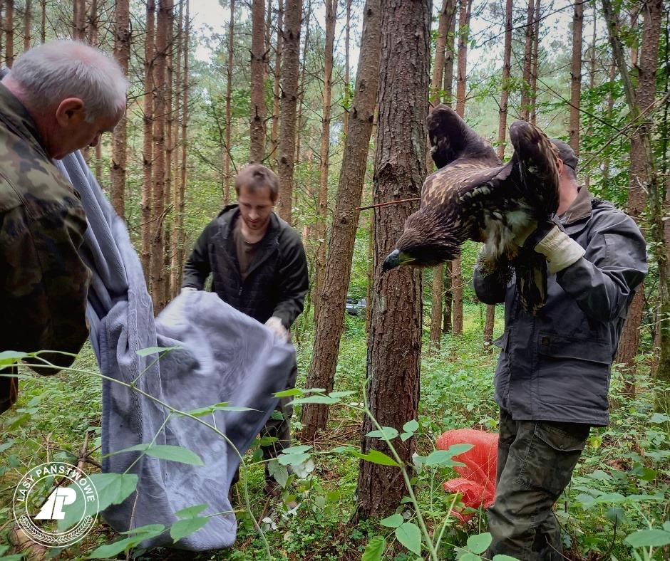 Leśnicy z Kalisza Pomorskiego uratowali  bielika